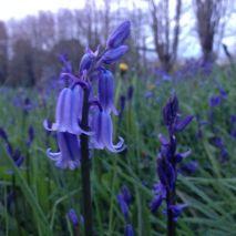 Bluebells at dusk - photo copyright Milo McLaughlin