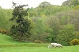 Welsh sheep 2 - copyright Lourenço de Azevedo