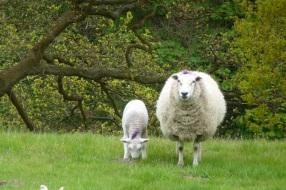 Welsh sheep - copyright Lourenço de Azevedo