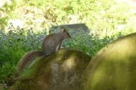Churchyard Squirrel - copyright Lourenço de Azevedo